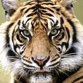 Bujubuja Tiger profile image
