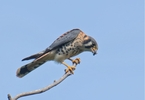 the-american-kestrel-is-in-free-fall-and-no-one-knows-why