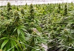 Access here alternative investment news about Cannabis Companies Look To Debt Financing, But Lenders Question Collateral Value