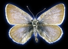Dna From 93-year-old Butterfly Confirms The First Us Case Of Human-led Insect Extinction