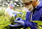 medical-cannabis-startup-tilray-raises-60m-in-series-a-round