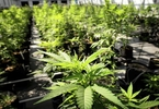 medical-pot-ethics-and-minimum-wage-boost-get-wins-while-missouri-voters-douse-gas-tax-political-fix