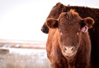 how-a-cows-digestive-system-could-revolutionise-renewable-energy